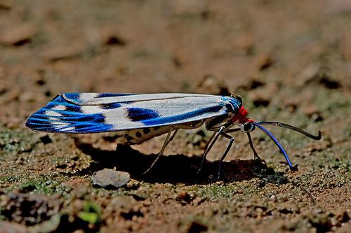 Chalcosia cf. pectinicornis - a daytime flying moth