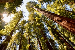 Mother Natures best creation (hsujack00) Tags: vacation california redwoods trees nature landscape outdoors adventure explore majestic amazement stunning breathtaking awe up sky mendocino hendywoods