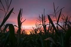 Cornfield @ sundown (RigieNL) Tags: sundown sunset zonsondergang sun sony sonya6000 europe europa nederland netherlands pink purple cloud clouds lucht corn mais insta instagram landscape landschap natuur nature