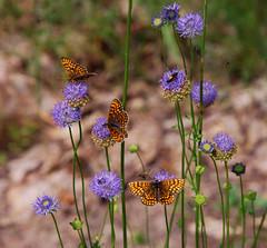 DSC_8358 copy2 (FMAG) Tags: kpn butterflies flowers 7dwf flora fauna butterfly