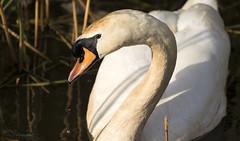 Sunset Swan (Paula Darwinkel) Tags: swan muteswan bird waterbird animal wildlife nature sunset