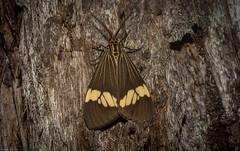 Magpie Moth (dustaway) Tags: arthropoda insecta lepidoptera erebidae arctiinae nyctemerasecundiana magpiemoth australianmoths australianinsects tullerapark tullera northernrivers nsw nature australia arctiidae