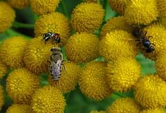 Tanacetum vulgare Fauna - 11 VII 2017 (el.gritche) Tags: hymenoptera france 40 garden colletidae colletes similis asteraceae tanacetumvulgare hylaeusvariegatus halictusmaculatus colletessimilis