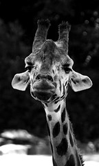 Giraffe (ingrid eulenfan) Tags: zoo hannover tier animal giraffe schw blackandwhite
