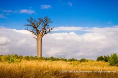 A baobab tree on the border of the Zombitse-Vohibasia National Park, Madagascar (Ulrich Münstermann) Tags: africa afrika baobabtree landscape landschaft madagascar madagascarnationalparks parcnationaldezombitsevohibasia pflanzen routenationale7 régiondeatsimoandrefana zombitsevohibasianationalpark adansonia adansoniadigitata angiosperms eudicots floweringplantsangiosperms grassland landschap malvaceae malvales planten rosids
