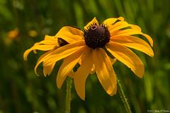 Black Eyed Susans (Fly Sandman) Tags: georgewashingtoncarvernationalmonument blackeyedsusan rudbeckia flower macro yellow brown prairie summer walkinthewoods
