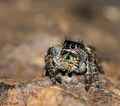 Jumping spider (WinRuWorld) Tags: macro spider arachnid closeup salticid salticidae northamerica pa pennsylvania jumpingspider phidippusaudax cute eyes tiny small hunter invertebrate animal creature fauna wildlife canon canon60d canoneos60d ef100mmf28lmacroisusm ruthwinfield dof depthoffield outdoors nature daringjumpingspider boldjumpingspider chelicerae ngc