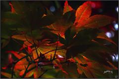 Bloodgood Japanese Maple. Part 5. (Picture post.) Tags: nature green maple japanese bloodgood summertime trees leaves arbre backlight macro
