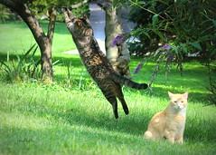 MISSED! (judecat ( back in flip flops)) Tags: cats felines catsinthegarden butterfly yellowswallowtailbutterfly browntabby redtabby floydd ozzie