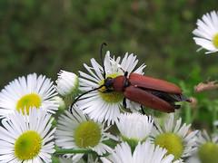 auf der Waldwiese (ekeha) Tags: 170720 käfer waldwiese