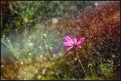 Rainy day ... (michel di Méglio) Tags: pluie rain drops marseille fleur