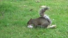 squirrel - ice cream - magpies (_Abi_) Tags: squirrel hot weather ice cream magpies summeruk summer