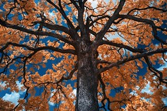 Georgia Tree (Jon Dickson Photography) Tags: trees clouds sky blue majestic branches branch infrared great greatphotographers