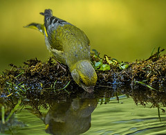 Thirsty greenfinch, male (Bojan Ž.) Tags: thirsty greenfinch bird animal wildlife canon eos 7d ef600mm