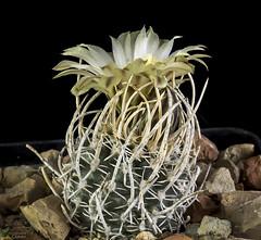Pediocactus peeblesianus (clement_peiffer) Tags: pediocactus peeblesianus flowerscolors d7100 105mm cactaceae succulent peiffer clement nikon cactus fleurs flower spines epines kaktusi кактуси