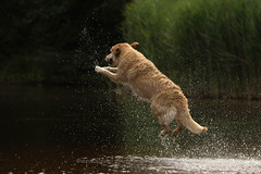 Miley's jump (dewollewei) Tags: labrador golden retriever dogs dog fun water play jump jumping miley