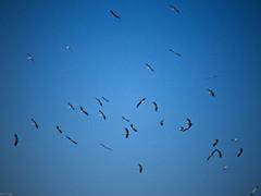 Treinta y cinco y un intruso (Luicabe) Tags: airelibre animal ave bandada cabello cielo cigüeña enazamorado exterior luicabe luis naturaleza paisaje vertebrado yarat1 zamora zoom ngc