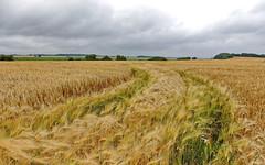 Windgeflüster (Wunderlich, Olga) Tags: wolken getreidefeld traktorspuren spuren grün gelb natur rügen insel deu