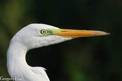 Great egret ( nagy kócsag) portrait. (Gergely_Kiss) Tags: nagykócsag closeup egret nature wildlife birds
