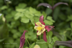 in a sentimental mood... (J. Kaphan Studios) Tags: flowers columbine nationalparks nationalparkphotography nature grandtetonnationalpark colorful colors jacksonhole wyoming