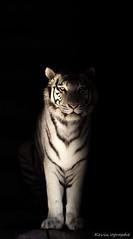 Tigre blanc (Kevin'ographe) Tags: carnivore canon tiger tigre blackandwhite noiretblanc 70d 150600 predator animal animals fantasticnature félin wildlife wild prédateur