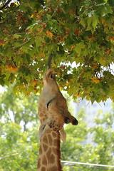 Girafe (ThomasAntunes) Tags: animal girafe zoo lisbon lisboa