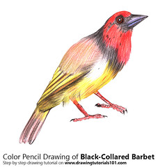 Black-Collared Barbet with Color Pencils [Time Lapse] (drawingtutorials101.com) Tags: blackcollared barbet lybius torquatus birds bird animals animal lybiidae sketch sketches sketching sketchs draw drawing drawings color colors coloring pencil how timelapse video