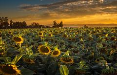 Muero con el ocaso (Juan Pablo J.) Tags: sonya68 tamrom2875mm sunflower naturephotography sunset sundown sunsetmadness outdoors