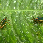 Leaf beetles, Dircema sp., Galerucinae thumbnail