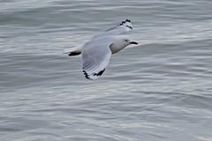Silver Gull (Rodger1943) Tags: silvergull gulls seabirds australianbirds birdsinflight faunainmotion fz1000
