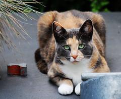 Look at me (Steenvoorde Leen - 4 ml views) Tags: doorn 2017 utrechtseheuvelrug pussy puss cat kat poes jong young katze chat minou mieze pussycat gata gato gatta look loesje