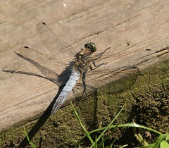 Black-Tailed Skimmer II - Ulley Country Park (westoncfoto) Tags: