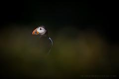 Low-Light Puffin (Old-Man-George) Tags: 2017 animal bird fraterculaarctica georgewheelhouse skomer uk britain british island nature pembrokeshire puffin wales wild wildlife wwwgeorgewheelhousecom a173207