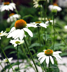 IMG_0990 Summer Time (Cyberlens 40D) Tags: nature flowers flora daisies white orange yellow green colors seasons summer canon
