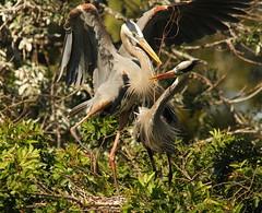 3S5X7655  Heron Mates (Eileen Fonferko) Tags: birds animals greatblueheronmates nesting nature wildlife hats beauty