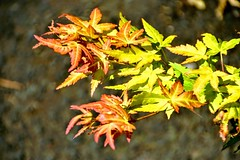Fading Leaves.. (Manoo Mistry) Tags: nikon nikond5500 tamron18270mmzoomlens tamron leaves nature plants bush green flickr flicker bokeh