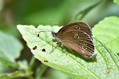 Ringlet in the sun. (pstone646) Tags: butterfly nature insect fauna closeup animal wildlife bokeh kent