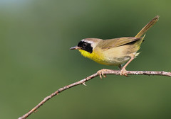 Common Yellowthroat (vischerferry) Tags: warbler commonyellowthroat yellowbird geothylypistrichas 14extender 100400mm fiverivers