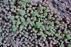 Petrosedum amplexicaule subsp. amplexicaule (Syn. Sempervivum hispanicum Pourr. ex Willk. & Lange) - BG Meise