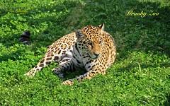JAGUAR RELAXING at the GRANBY ZOO ( Quebec ) CANADA (guylafortune) Tags: zoo granby park nature félin parc catlike feline panthera jaguar carnivore animal