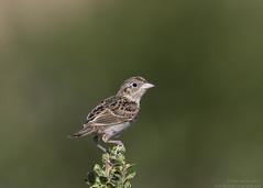 Grasshopper Sparrow - ABA #449 (Tomingramphotography.com) Tags: sparrow grasshopper nikon d500 ingram nature bird