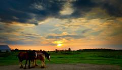Clydesdales at Sunset-7497 (CdnAvSpotter) Tags: sunset navan ontario canada ottawa countryside landscape nature sun horses farm clydesdale pasture field canon explore explorecanada canada150 beautiful stunning amazing