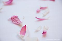 _MG_9482.jpg (Dhammika Heenpella / Images of Sri Lanka) Tags: dhammikaheenpella srilanka imagesofsrilanka lotuspetals ධම්මිකහීන්පැල්ල ශ්රීලංකාව ඉමේජස්ඔෆ්ශ්රීලංකා