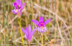 Gros Morne orchid (Photosuze) Tags: orchids dragonsmouthorchids flowers newfoundland grosmorne pink petals blooms flora wildflowers