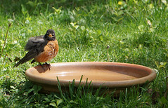 Robin wants water (fiddlejean) Tags: robin hot flustered interacting stare glare angry thirsty tousled water backyard