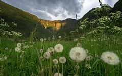 20170615-2116-20 (Don Oppedijk) Tags: hordaland noorwegen no ullensvang norway cffaa dandelion