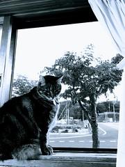 Silvery Tigger (sjrankin) Tags: 15july2017 edited animal cat tigger autoprocessed silvery window windowsill outside yubari hokkaido japan