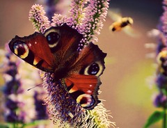 Eyes on you (barbara_donders) Tags: flowers bloemen bee bij vliegen flying insects nature natuur pink roze purple paars prachtig mooi beautifull magical butterfly vlinder