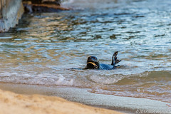 Monk Seal Pup (Michael DaKidd) Tags: kaimanabeach monkseal pup