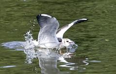 Splash Down (Ozzy Delaney) Tags: blackheadedgulljuvenile wings feathers beak eyes lake splash